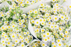 Bouquets of shasta daisies by Kristin Duvall for Stocksy United