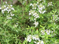 12 Mosquito And Fly Repellent Plants You Can Grow Easily | The Self-Sufficient Living