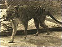 Tasmanian Tiger or Wolf