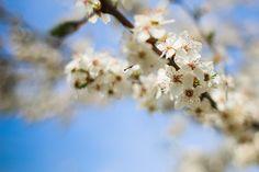 Free Image: Flowering Apple-Tree | Download more on picjumbo.com!
