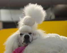 I wonder if other dogs think poodles are members of a weird religious cult.  ~Rita Rudner #poodles #dogs #comedy