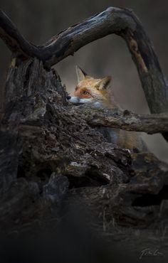 Fox | Vixen | Tod | Renard | лисица | Zorro | 狐 | Sionnach | Red fox by Csaba Tökölyi on 500px
