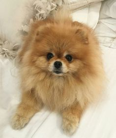 Gorgeous Pomeranian dog. Tops in behavior and love!
