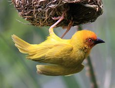 https://flic.kr/p/8sKpMH | Weaver Bird | just hanging!  African Golden-Weaver, Ploceus subaureus.  **************************************************************************************** Thank you for all your comments and faves, they are very much appreciated! ****************************************************************************************