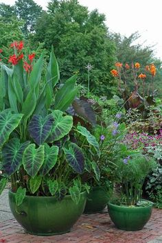Papyrus, elephant ears and cannas l Longwood Gardens - What a nice look. I never thought about putting elephant ears in a container, but they really look great! Tropical Landscaping, Tropical Plants, Garden Landscaping, Tropical Patio, Tropical Gardens, Canna Lily Landscaping, Container Flowers, Container Plants, Container Gardening