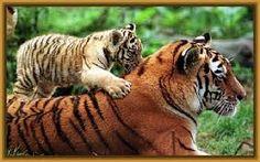 Resultado de imagen para tigres bebes