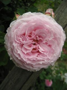 'James Galway' | Shrub. English Rose Collection. David C. H. Austin, 2000 | Flickr - ©Peter