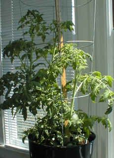How to grow tomatoes indoors over the winter.