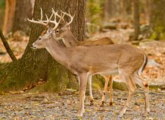 Two whitetail bucks along the Mountain Fork River in Beavers Bend State Park. Photo courtesy of Lindell Dillon. Beavers Bend State Park, State Parks, Broken Bow Oklahoma Cabins, Broken Bow Lake, Dallas Travel, Beaver Bend, Forked River, Go Camping, Camping Hacks