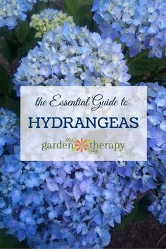 The Essential Guide to Hydrangeas. They are long-living shrubs that bloom most of the summer and well into fall. Here is a guide to all things hydrangea: a description of the different types, how to change their color, drying projects, and more!