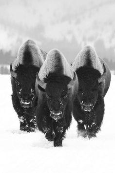 Búfalos manadas de machos..!