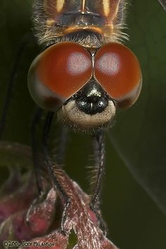 Dragonfly. By: Jody Melanson  |  View Full Portfolio (285 images)  Tags: canon eos 1d mark ii n dragonfly sigma 150mm f28 apo ex dg hsm macro  Equipment: Canon EOS 1D Mark II N, Sigma 150mm f2.8 APO EX DG HSM Macro
