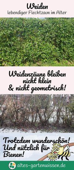 Weiden - lebendiger Flechtzaun im Alter   altes-gartenwissen.de #garten #hecke #weide #weidenzaun #gartengestaltungundgartenbau