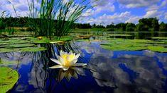 Al instante reconocibles, los nenufares o lirios de agua son posiblemente las flores más buscadas de entre todas las plantas acuáticas.