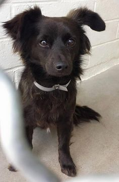 This little guy is so terrified he is sticking close to the corner and he's not willing to come and visit yet. he is beautiful and he needs help now. Please SHARE, a FOSTER would save his life. Thanks! #A$830808 I'm 2 year old male chihuahua lh. I have been at the Carson Animal Care Center since May 15, 2015.at C224. Carson Shelter, Gardena, CA