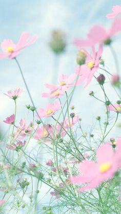 Flower Background Wallpaper, Flower Phone Wallpaper, Cellphone Wallpaper, Flower Backgrounds, Wallpaper Backgrounds, Cosmos Flowers, Flowers Nature, Pretty Flowers, Pink Flowers