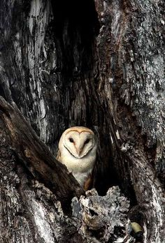 """earth-song: """" """"Barn Owl in Ebony"""" by Marius Coetzee """" Beautiful Owl, Animals Beautiful, Cute Animals, Beautiful Moments, Baby Animals, Owl Bird, Pet Birds, Nocturne, Nature Sauvage"""