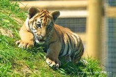 bengal tiger cubs   Tiger Cubs at Wingham Wildlife Park tiger cubs Bengal Tiger
