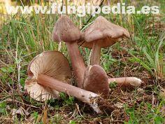 Entoloma porphyrophaeum es un hongo del orden Pluteales también conocido como Rhodophyllus porphyrophaeus, .. ver más información.