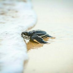 Baby Leatherback Sea Turtle first kiss with the ocean