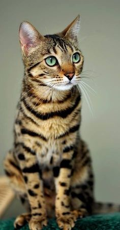 Adorable cute Bengal Cat sitting .... click on picture to see more