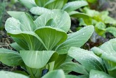 Growing Quick, Delicious, and Versatile Asian Greens: Bok Choy (Pak Choi)