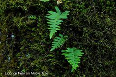 Licorice Fern  10 Edible  Organic Plants