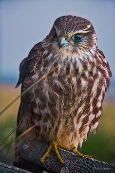 The Merlin Falcon, taken in Hafnarfjordur, Hafnarfjordur, Iceland by HPHson