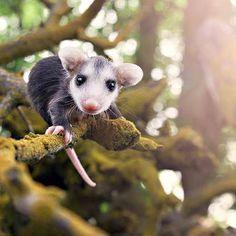 Little baby opossum exploring .