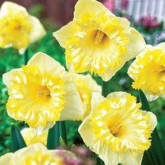 Narcissus 'Snow Tip'