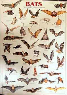 Bats are fascinating! A great poster of various Chiroptera - Perfect for classrooms and fans of nocturnal beasts! Fully licensed - 1997. Ships fast. 27x39 inches. Need Poster Mounts..? bm5405