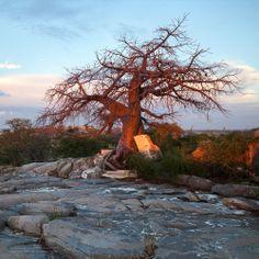 Kubu Island, Botswana, Africa, Makgadikgadi Africa, Island, Forests, Water, Plants, Landscapes, Trees, Gardening, Painting