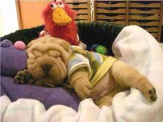 Sharpei puppy that look like stuff animal