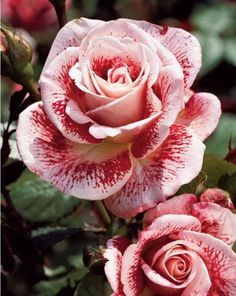 White and red make pink in a dramatic fashion on this rose.