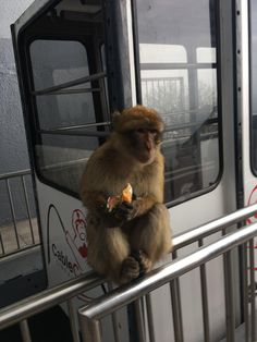 One of the Gibraltarian Macaques stole some crackers from a guy on the cable car