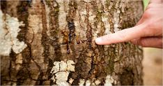 Sudden oak death, a killer disease, is attacking coastal oak trees. But scientists have found one healthy swath of forest that could be the perfect laboratory for a preventive treatment. Oak Tree Diseases, Home Inc, Trees, Scientists, Tree Structure, The Scientist, Wood, Plant