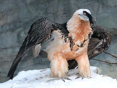 Bartgeier / Lämmergeier / Bearded Vulture (Gypaetus barbatus) by Sexecutioner on Flickr.  Been getting requests in my request posts for these guys for ages! Here you go finally, you patient, patient folks :D