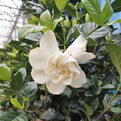 Weekend blooms at the greenhouse 💮 #gardenia