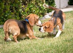 These are rescue beagles who are experiencing grass and sun for the first time. BFP
