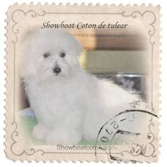 My photo effect from Pho.to Lab app #photolab   coton de tulear from Showboat Cotons