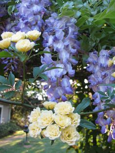 this is a beautiful picture of the combination of Wisteria and Climbing Roses. I have been pondering about the probability of creating this planting combination for a while.
