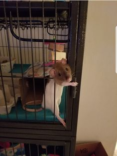 She likes to let herself out of her cage whenever she feels like it. Fluffy Animals, Cute Baby Animals, Farm Animals, Puppy Pictures, Cute Pictures, Dumbo Rat, Fancy Rat, Cute Rats, Miniature Dogs