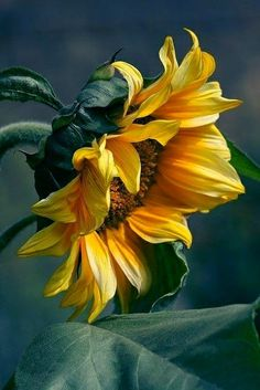 Beautiful Sunflower...