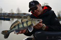 Wolgazander Donau Predator, Fish, Pisces
