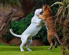 Liger vs Tiger