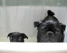 big pug and little pug are disappointed in you.