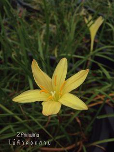 Primulina  บัวดินสีเหลือง