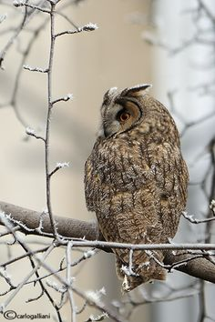 Long-eared Owl (Asio otus) by carlogalliani, via 500px