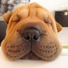 Shar pei puppers, beautiful beyond words. Animals And Pets, Baby Animals, Funny Animals, Cute Animals, Animals Planet, Shar Pei Puppies, Cute Puppies, Dogs And Puppies, Wrinkly Dog