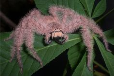 A very fuzzy sparassid,or huntsman spider.